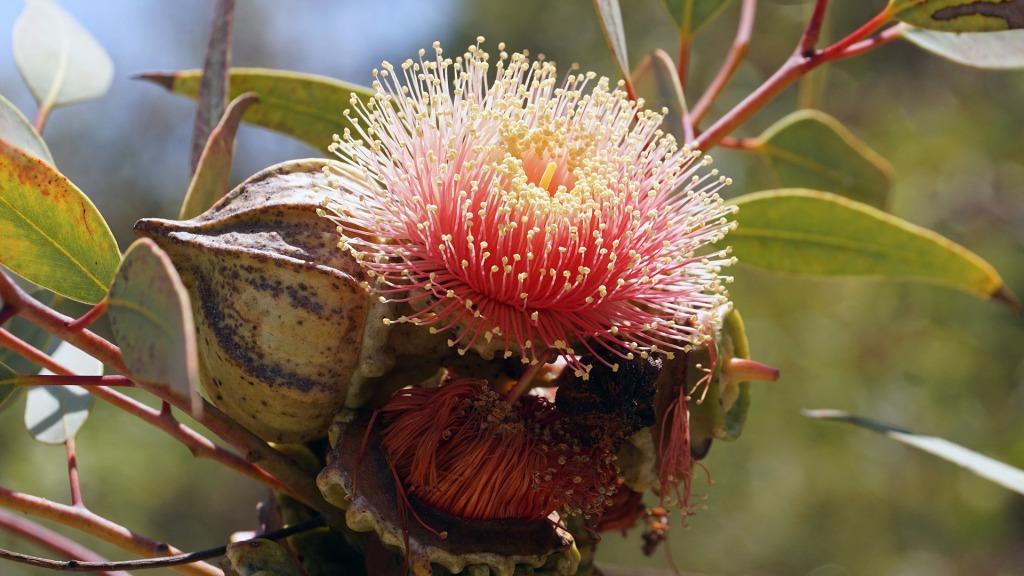 comment choisir mon huile essentielle d'eucalyptus ?