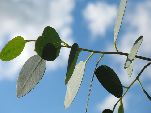 quelle huile essentielle d'eucalyptus utiliser ?
