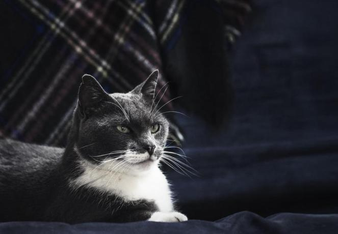 majestic-grey-cat_925x
