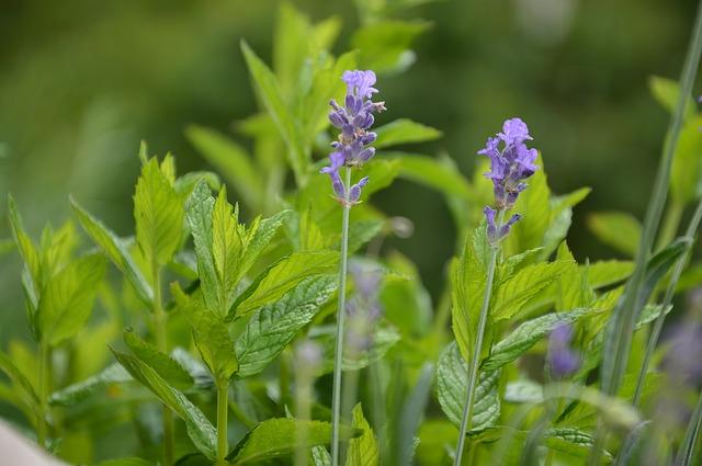 lavender-815765_640.jpg
