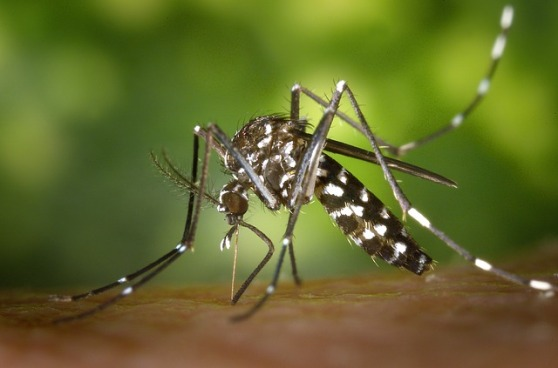 tiger-mosquito-49141_640.jpg