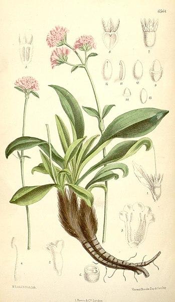 349px-Nardostachys_grandiflora