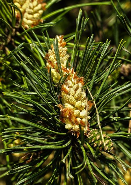 comment utiliser l'huile essentielle de pin sylvestre